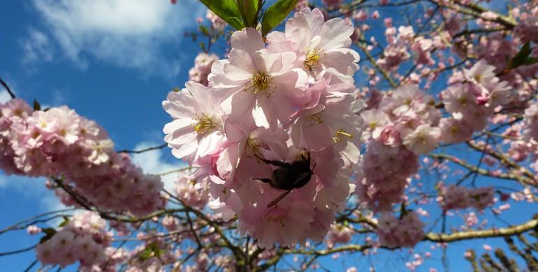 Frühling in Göteborg: Kirschblüten