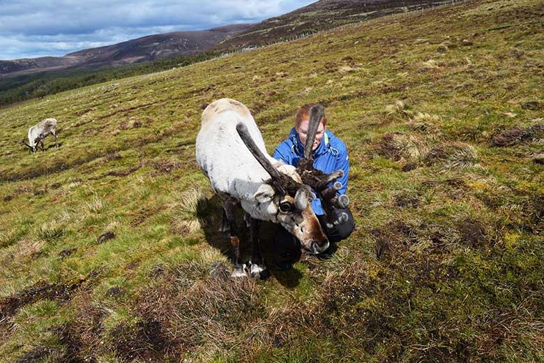 Schottland Rentiere